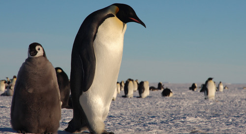 Travel Our 'Frozen Planet' & March to the Snow Hill Emperor Penguins