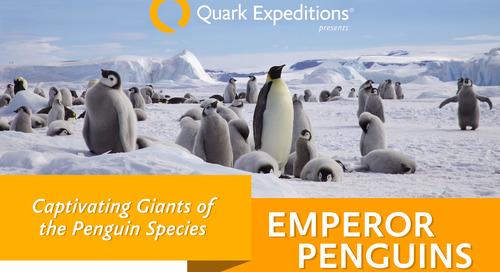 Emperor Penguins: Meet the Giants of the Penguin Species