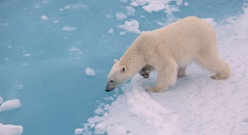 5 Arctic Animals You Might See on a North Pole Expedition