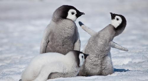 Emperor Penguins Infographic