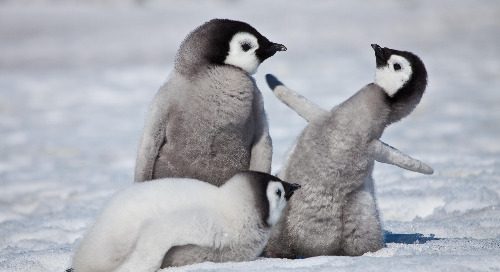 Emperor Penguins: Meet the Giants of the Penguin Species