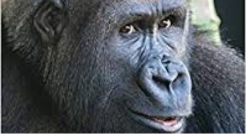 """Christena Nippert-Eng: Author of """"Gorillas Up Close"""" and """"What is Baby Gorilla Doing?"""""""