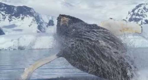 Amazing Whale Video From Quark's Antarctic Peninsula Voyage