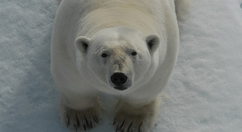 Meet the Polar Bear