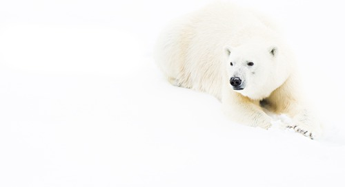 Natural Polar Bear Habitat Delivers Award-Winning Photography on an Arctic Expedition