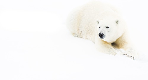Natural Polar Bear Habitat Delivers Award-Winning Photography on an Arctic Expedition