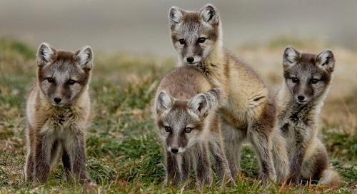 An Invitation to Meet the Arctic's Wildlife Denizens