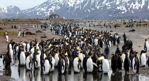 Celebrate World Penguin Day by Counting Penguin Chicks with Oxford Researchers