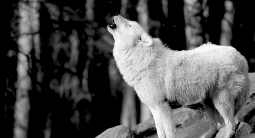 a howling arctic wolf in the woods