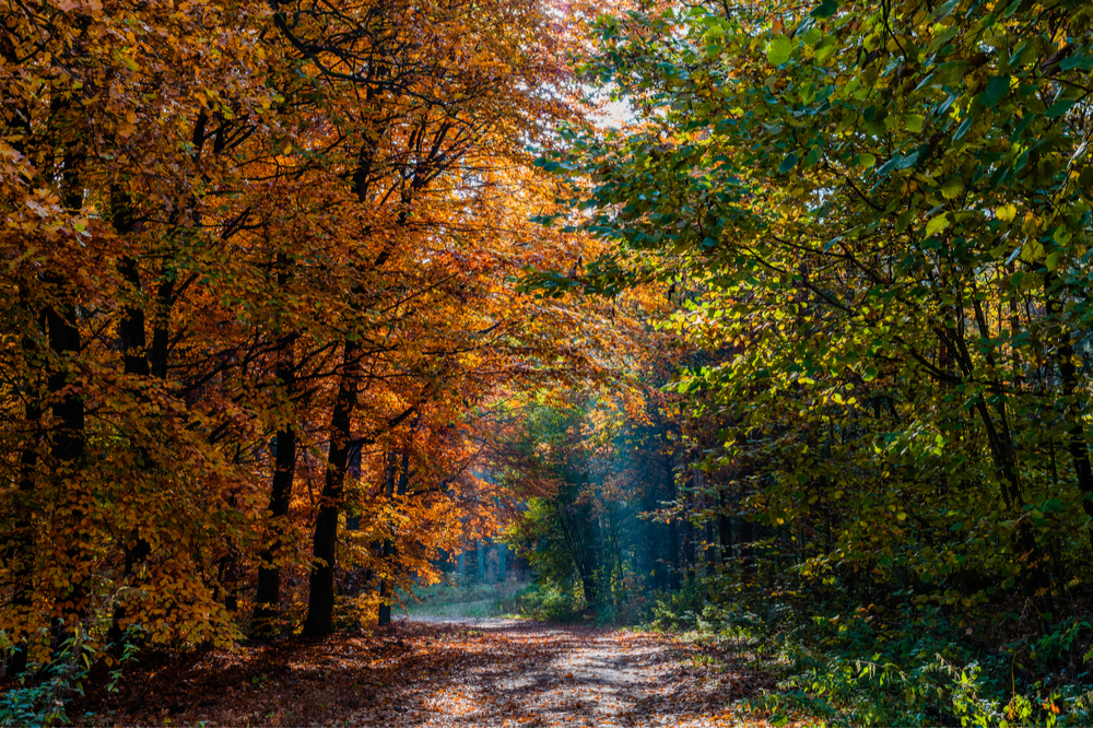 A path in the woods during Autumn. Orange colored trees are on the left side of the road.