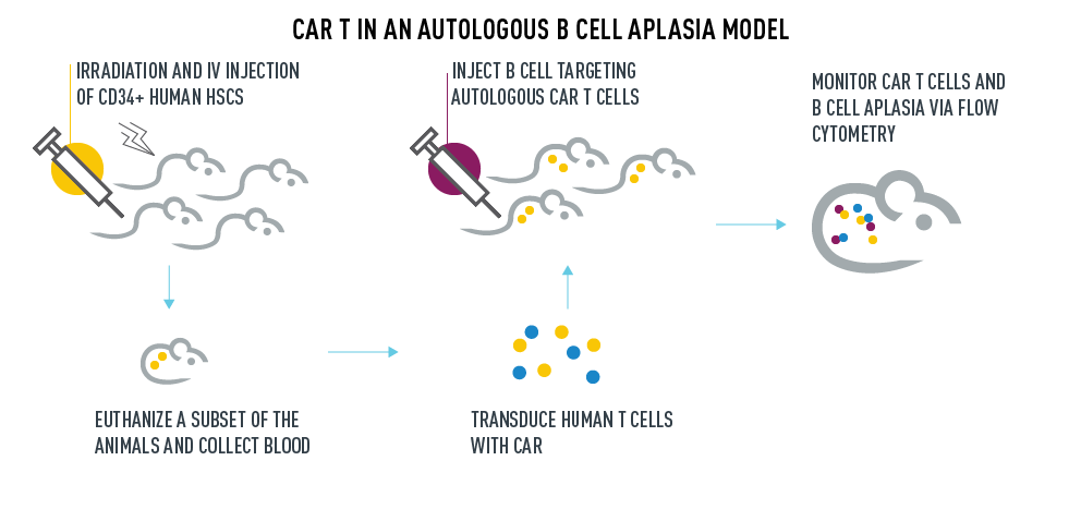CAR T in an autologous B Cell Aplasia Model