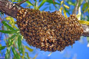 swarming4