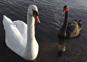 white_black_swans