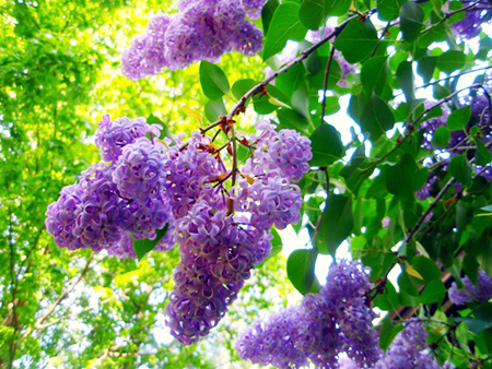 spa ingredient - lilacs