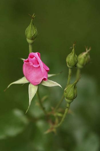 spa ingredient - rosebuds