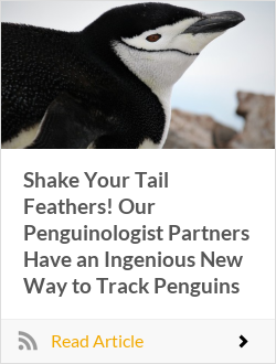 Shake Your Tail Feathers! Our Penguinologist Partners Have an Ingenious New Way to Track Penguins