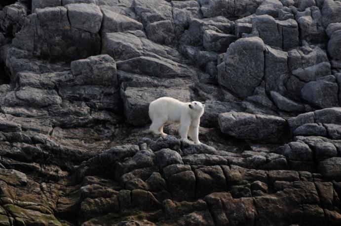 A polar bear scales a steep rock wall on Monumental Island, Canadian High Arctic.