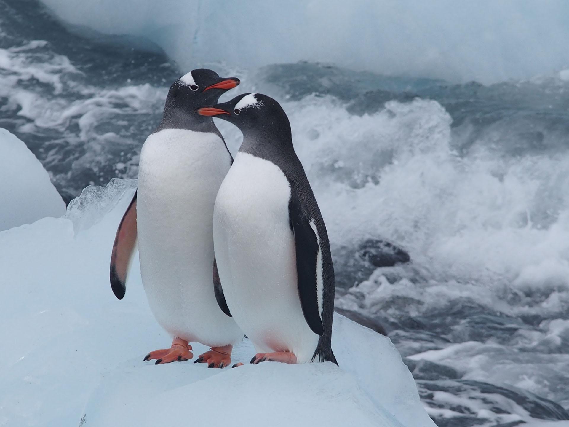 Gentoo Penguins-Photo credit: John and Karen Morrison.jpg
