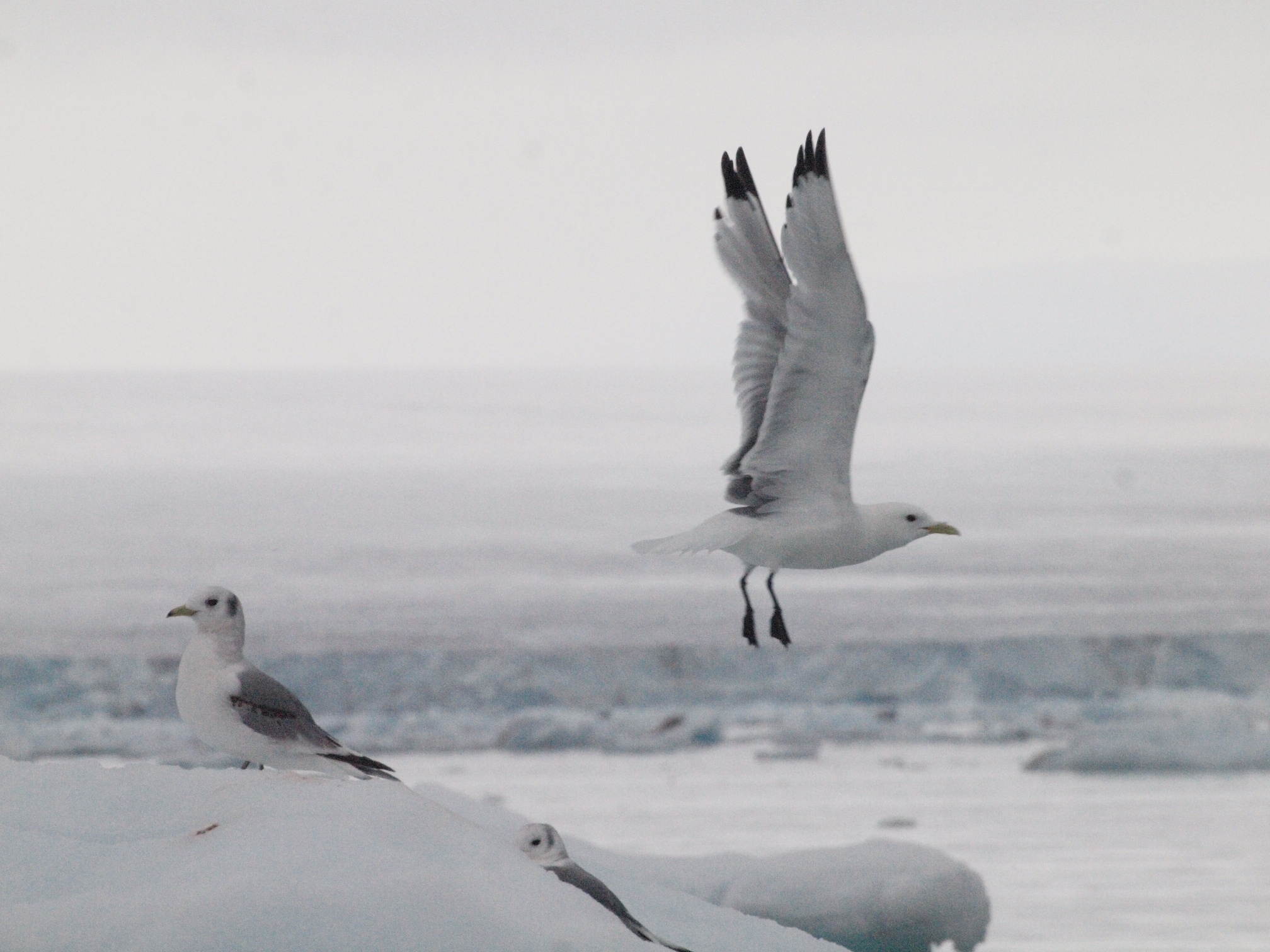 Kittiwakes in east Svalbard, photographed by a Spitsbergen expedition passenger