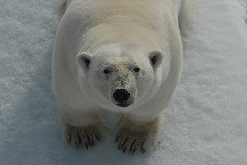 A polar bear stares up at Arctic expedition passengers in Spitsbergen, Svalbard. Photo: Rob de Haas