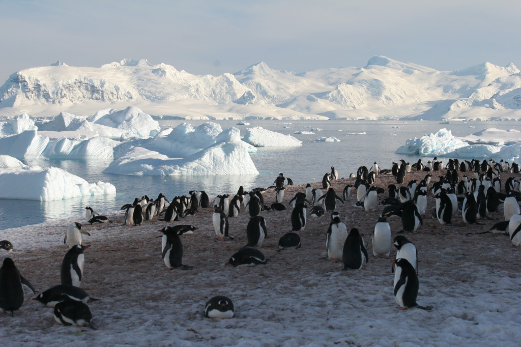 Cuverville Island penguins
