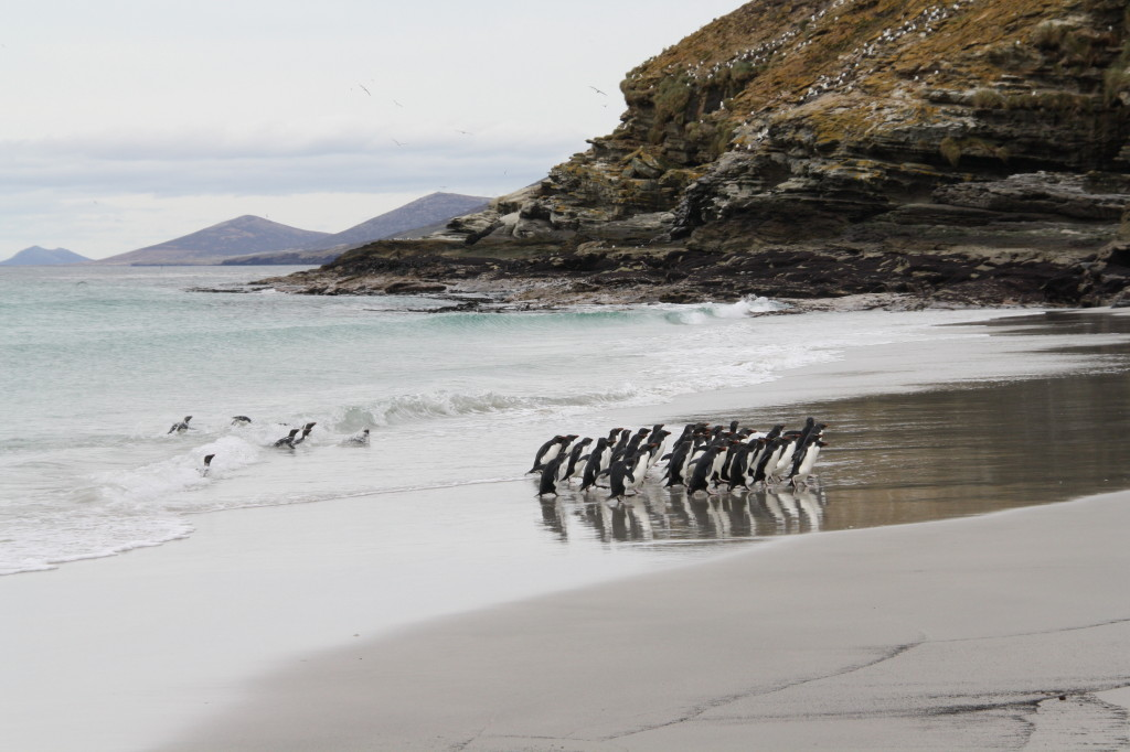 Saunders Island beach with penguins