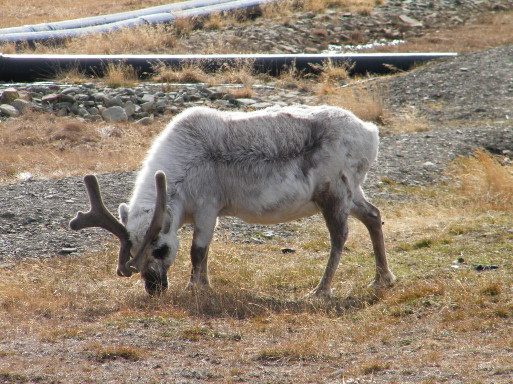 A Svalbard reindeer makes a meal of the tasty tundra in Spitsbergen, wildlife capital of the Arctic.