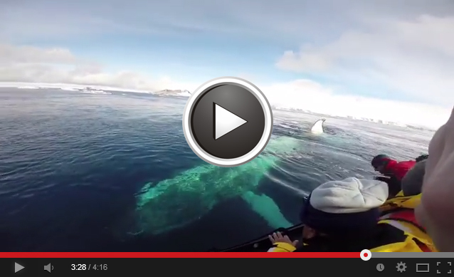 Humpback Whale Video