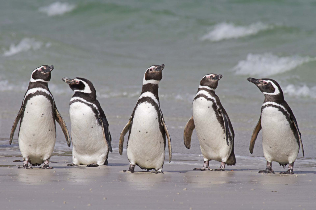 Carcass Island, Magellanic Penguins