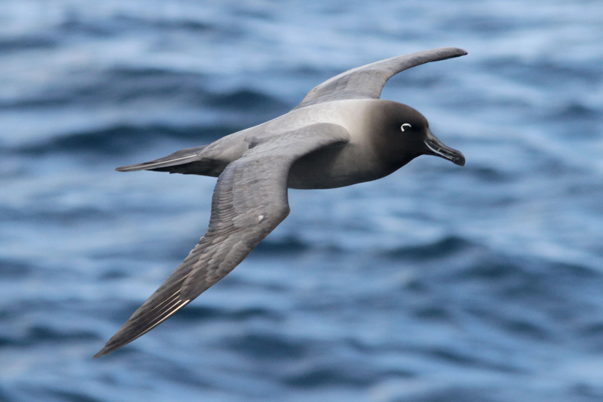 A light-mantled albatross (also known as the grey-mantled albatross or the light-mantled sooty albatross) soars over the surface of the Atlantic. Photo: Noah Strycker