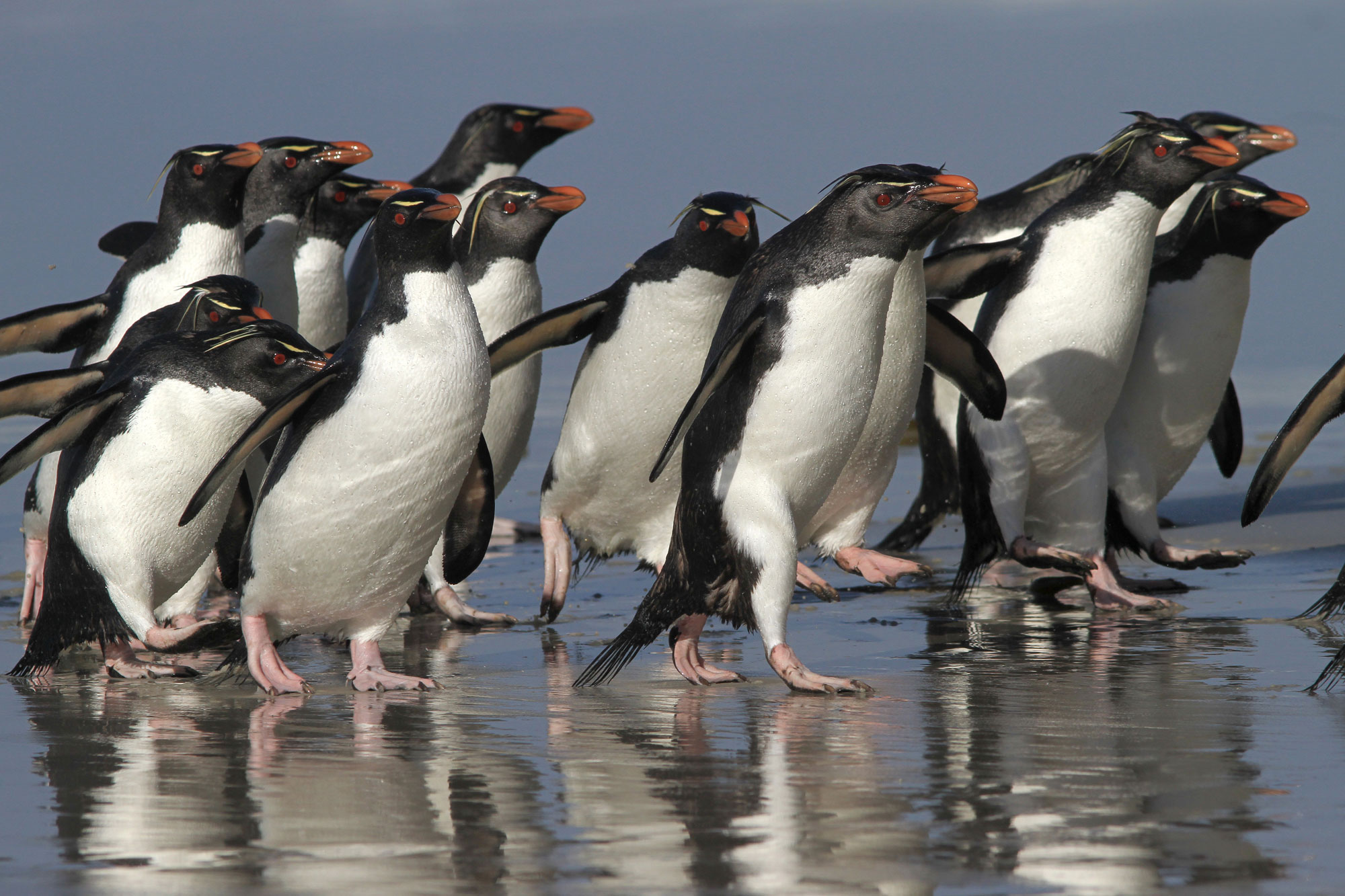 Southern Rockhopper penguins walk the beach in the Falkland Islands (Islas Malvinas), an early destination on the South Georgia to Cape Verde expedition. Photo: Noah Strycker