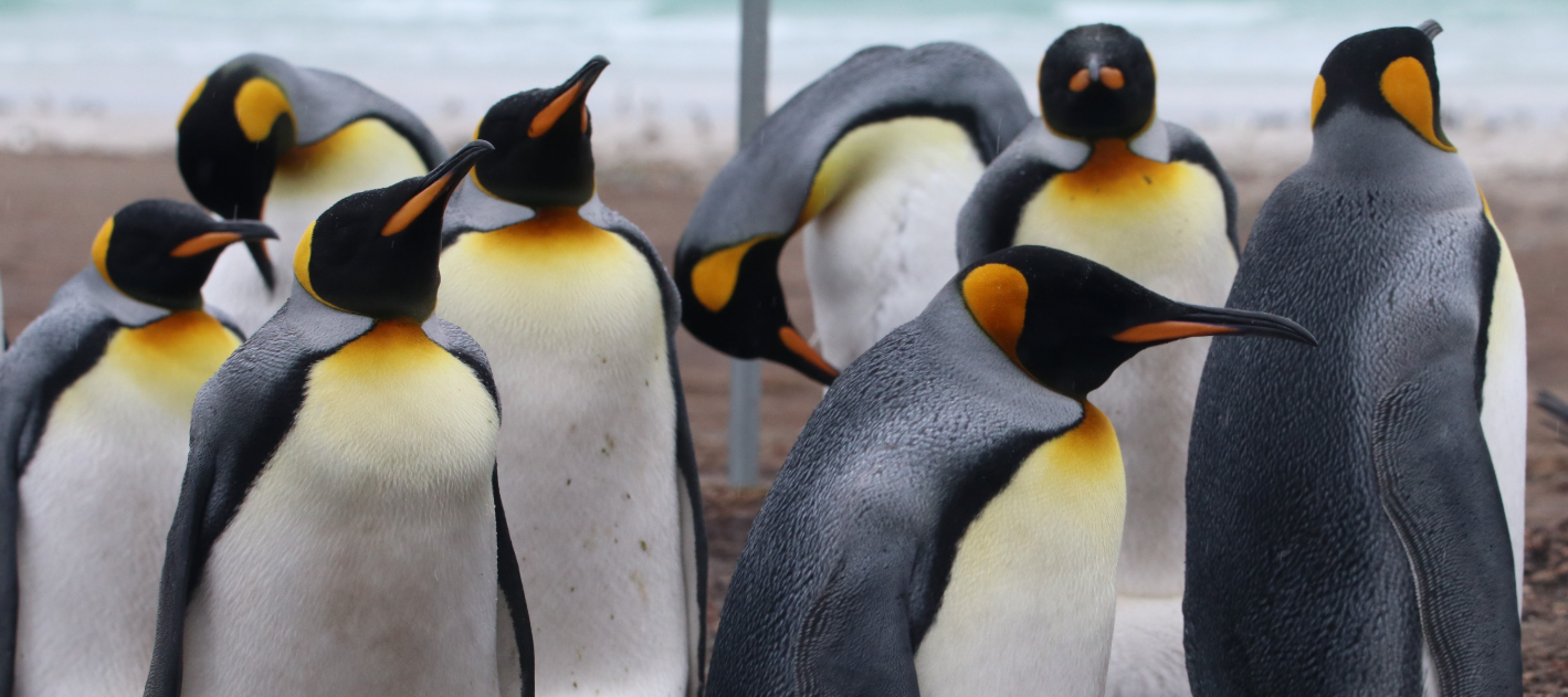 King penguins are the tallest penguins in the Falkland Islands. You'll know them by their orange markings, as pictured here on a recent Antarctic expedition.