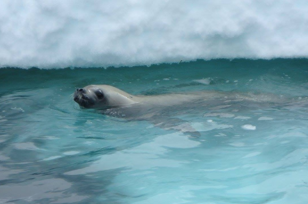 A seal pops its head above halcyon aquamarine waters, to the delight of Zodiac passengers on an Antarctic Fly-Cruise expedition.