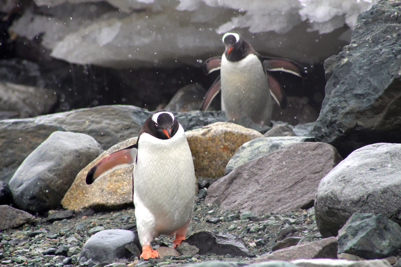 Gentoo penguins march the rock beach at Danco Island, Antarctica. Photo: Miranda Miller