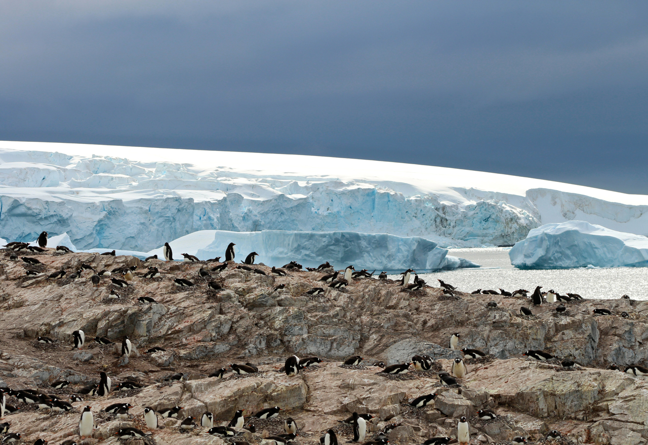 Gentoo penguins somehow make a cozy home and nest on frigid rock at Cuverville Island, a passenger favorite landing site in Antarctica. Photo: Miranda Miller