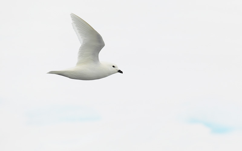 A pure white snow petrel glides the skies over the South Orkney Islands. Photo: Andy Stringer
