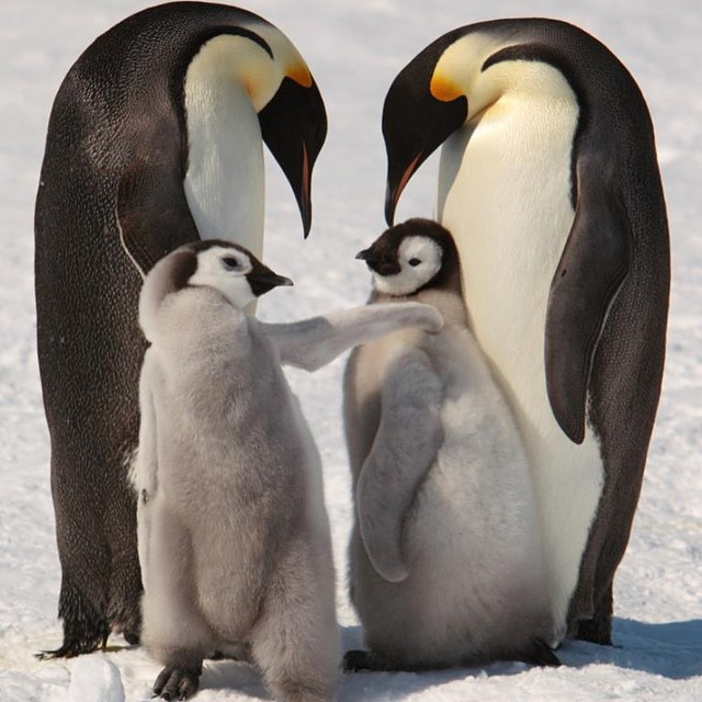 Emperor penguins and chicks near Snow Hill Island on the frozen Weddell Sea. Photo credit: Andy Stringer, Snow Hill Safari expedition (2009).