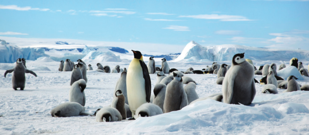 An adult Emperor penguin stands surrounded by hatchlings just preparing to moult at Snow Hill, Antarctica.