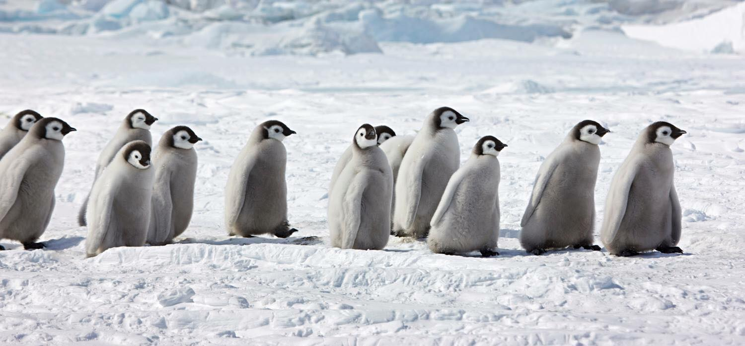 Emperor penguin chicks at Snow Hill