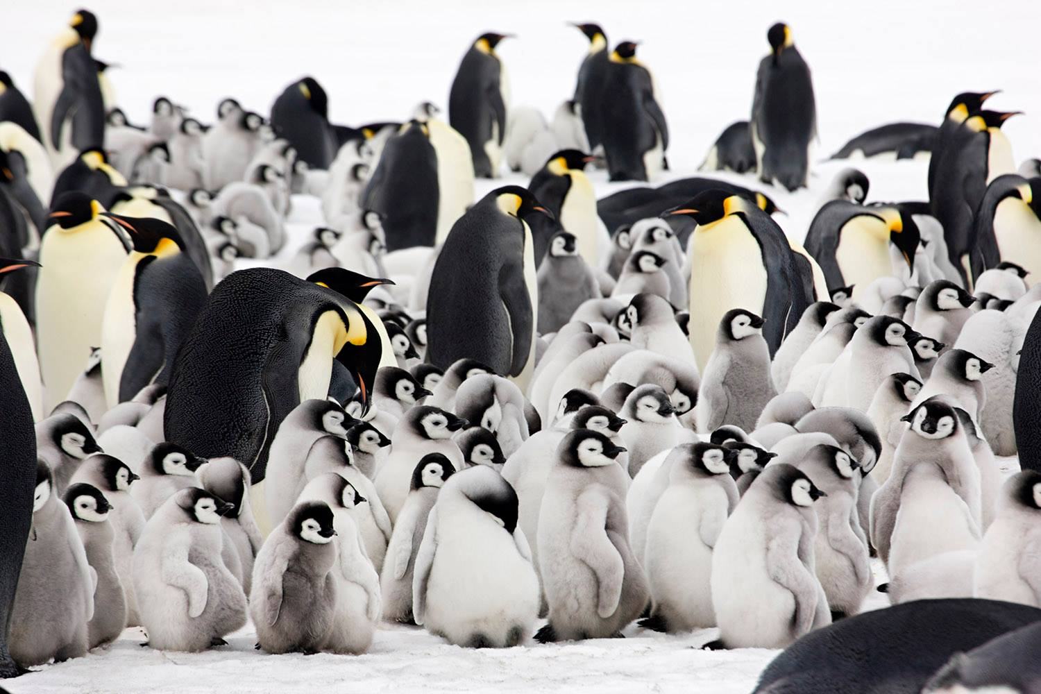 Witness thousands of adult Emperor penguins and their chicks in their sea ice rookery near Snow Hill in the Weddell Sea. Photo credit: Sue Flood Photography