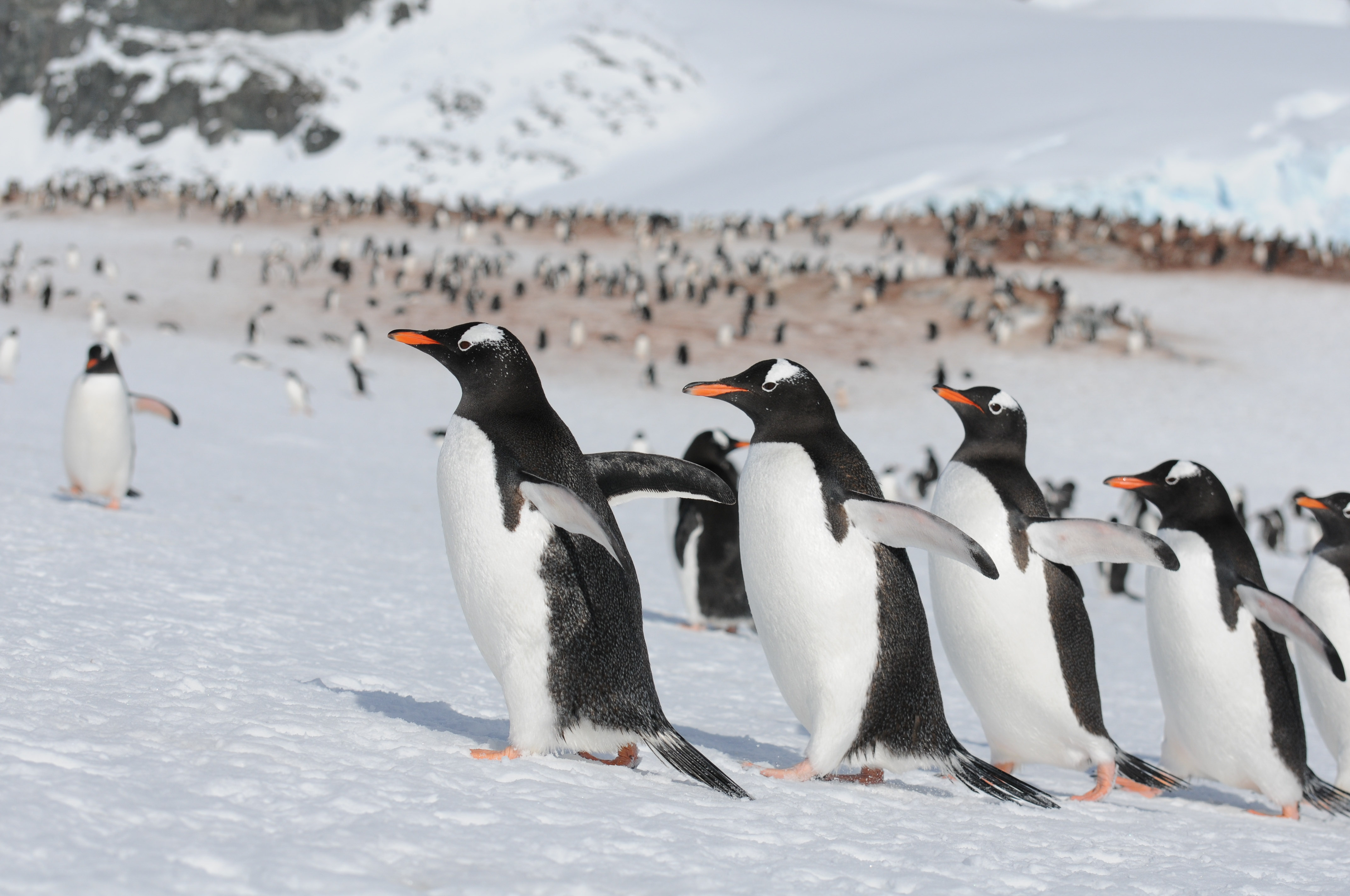 Gentoo penguins spotted running for it