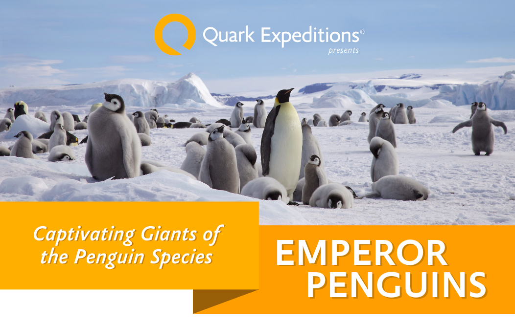 Emperor Penguin Facts Quark Expeditions.png