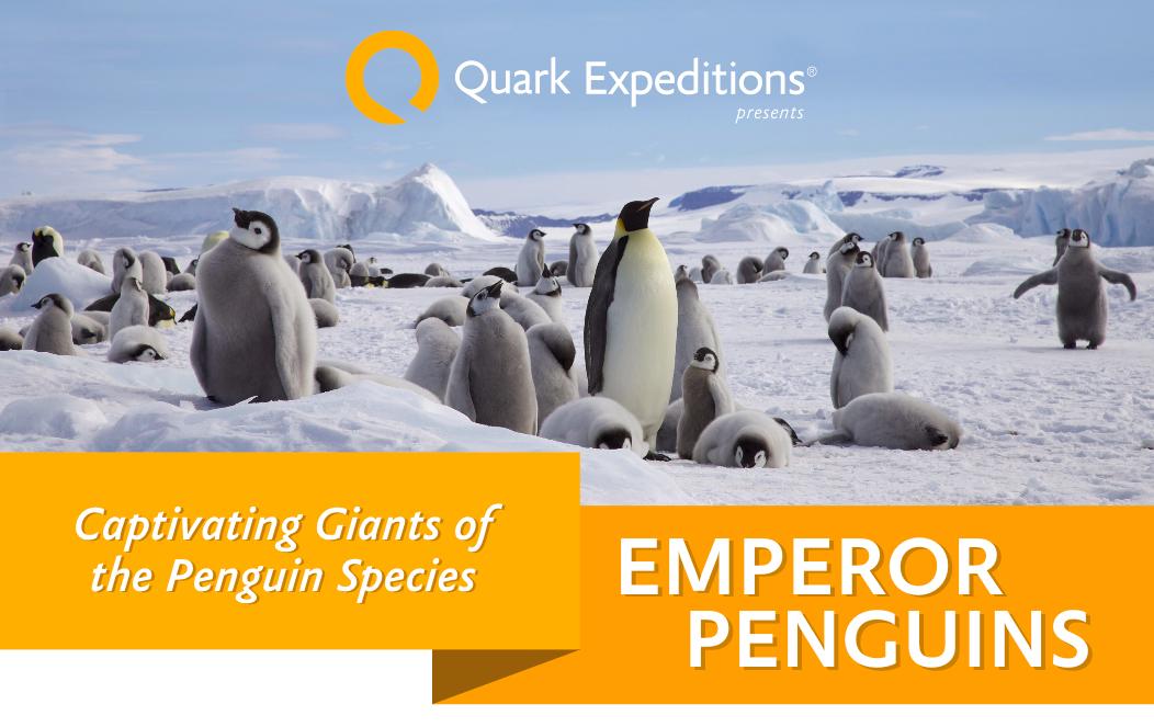 Emperor Penguin Facts Quark Expeditions.png