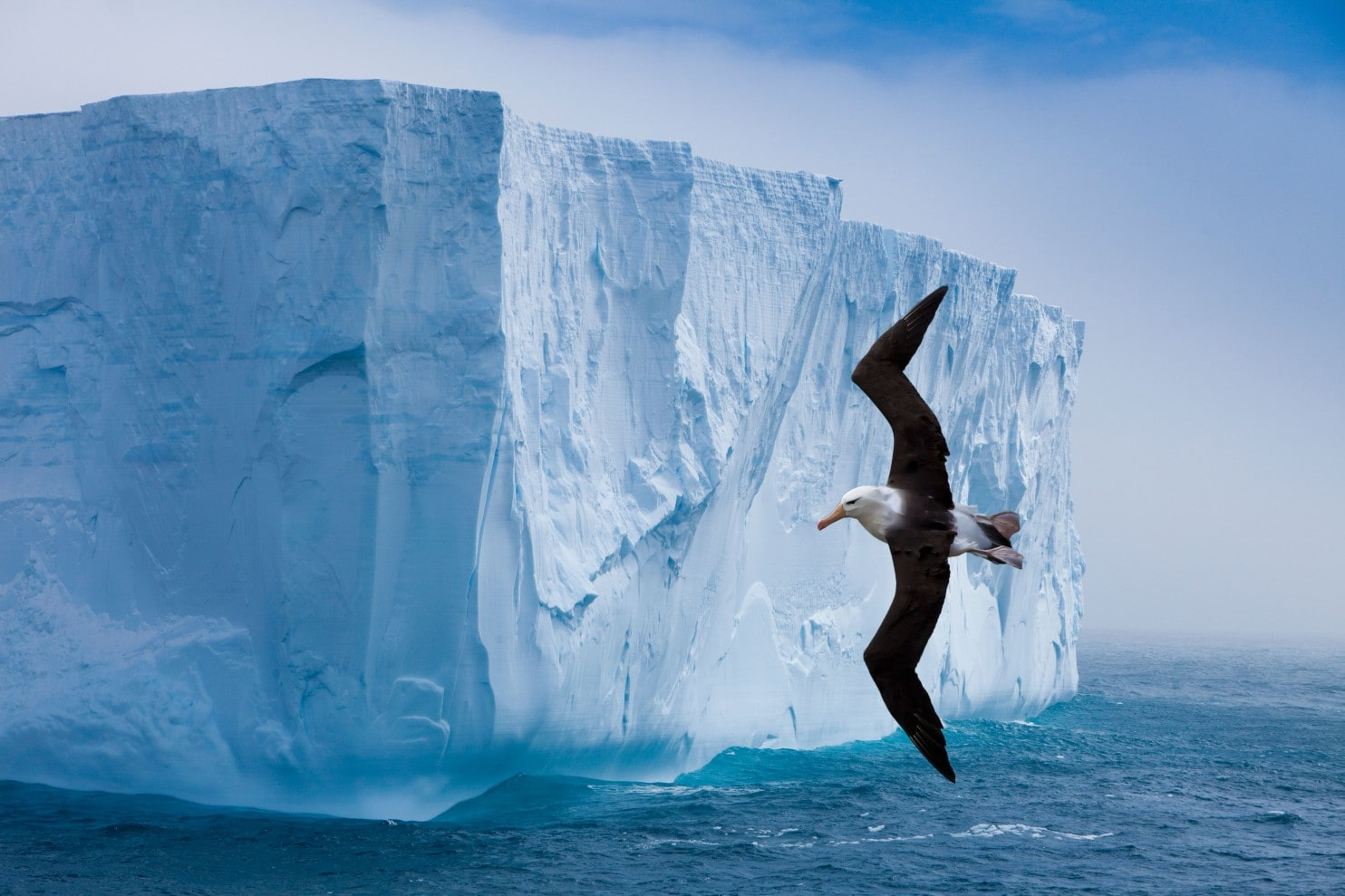 A black-browed albatross zips along the cliff-like edge of an iceberg. Whether at 4 a.m. or 9 p.m., there is always something to ogle in Antarctica. (Jim Zuckerman/Alamy Stock Photo)