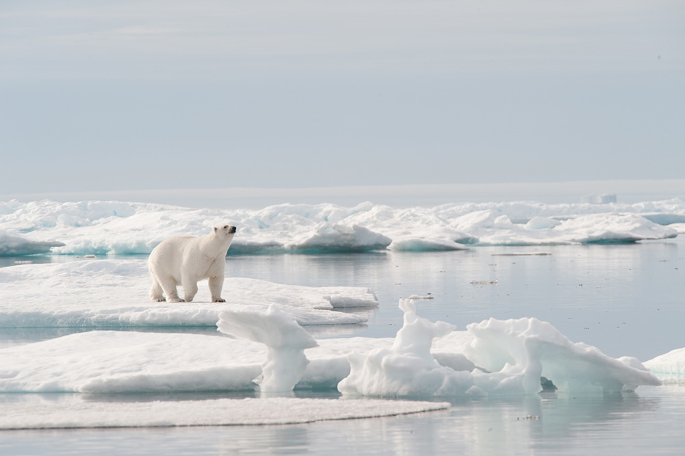 An adult polar bear catches an intriguing scent in the frigid Arctic air