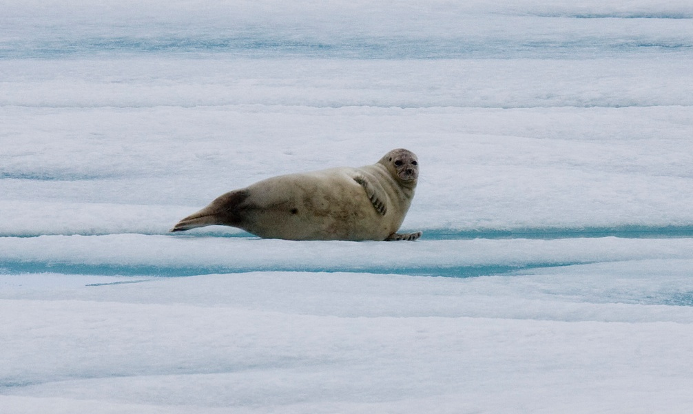 A ringed seal hauled out on the ice surveys the Arctic landscape for any sign of its nemesis and greatest threat: the polar bear. Photo credit: Nansen Weber