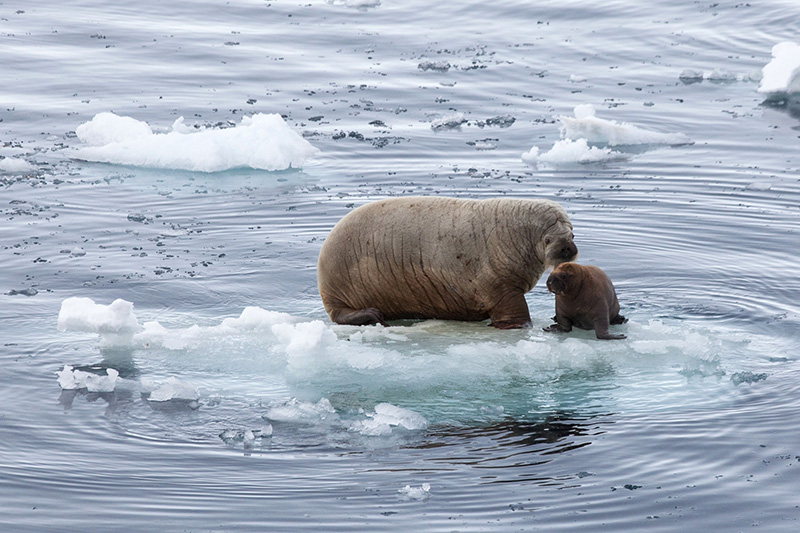A female walrus keeps close watch over her calf, spotted here on a summer expedition in the Arctic. Photo credit: Sam Crimmin