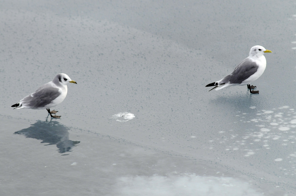 An adult and juvenile kittiwake together on sea ice in Franz Josef Land. Photo credit: Peter Prokosch