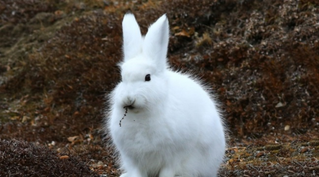 The arctic hare, pictured here nibbling on a piece of tundra flora, is another of the animals that lives in the Arctic. Photo courtesy of Nansen Weber Photography