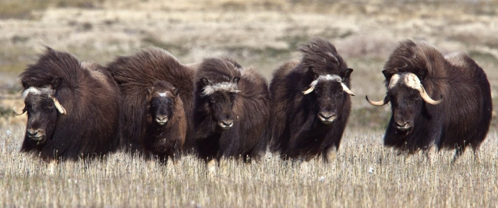 A herd of muskoxen lumber across the summer tundra near Arctic Watch Wilderness Lodge. Photo courtesy of Nansen Weber Photography